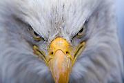Bald Eagle, Haliaeetus leucocephalus, Portrait, Kenai Peninsula, Homer Spit, Homer, Alaska. Digital original, #2006_0376 ©Robin Brandt