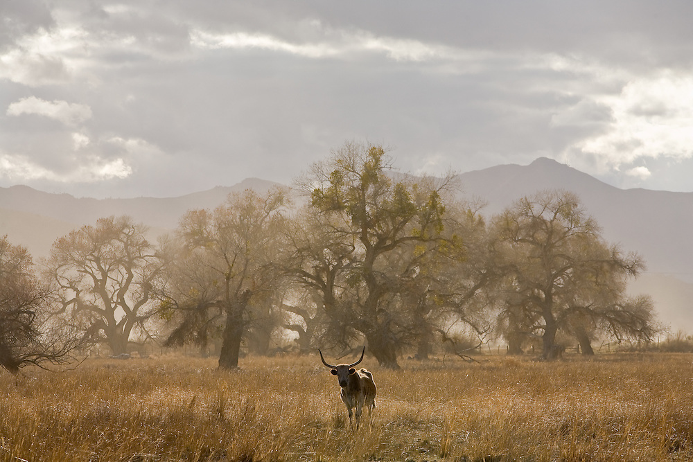 Longhorn cattle in spring wind storms with mysterious lighting in California Oak Trees Quercus agrifolia in Central California