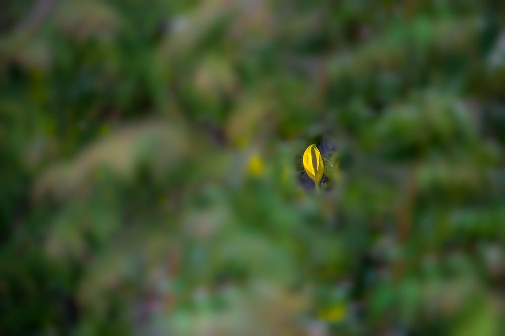 Skunk cabbage ( Lysichiton americanus,), March, Olympic Peninsula lowlands, Washington, USA