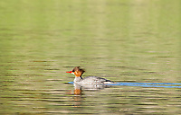 Female Common Merganser, Mergus merganser, swimming on Upper Klamath Lake, Oregon