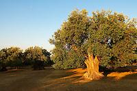 Italie. Sardaigne. Olivier tres ancien. Region de Siliqua. Province de Cagliari. // Italy. Sardinia. Old Olive tree around Siliqua. Cagliari province.