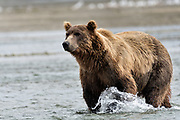 A large grizzly bear boar chases chum salmon in the lower lagoon at the McNeil River State Game Sanctuary on the Kenai Peninsula, Alaska. The remote site is accessed only with a special permit and is the world's largest seasonal population of brown bears.