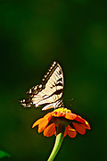 Tiger Swallowtail butterfly on Mexican Sunflower