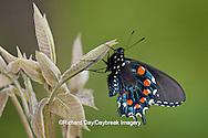 03004-01107 Pipevine Swallowtail (Battus philenor) male in Marion Co., IL
