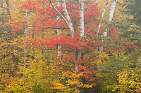 Peak fall color and white birches in Groton State Forest, Vermont, USA