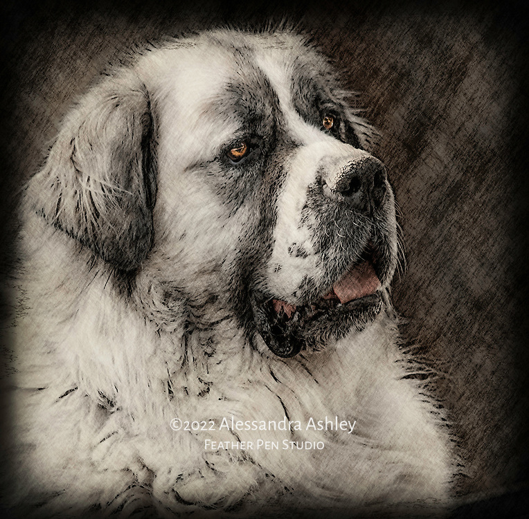 Expressive portrait of Saint Bernard dog, blended with crosshatch texture.  St. Bernards are large working dogs known for Alpine rescues as well as for their large size and gentle nature.