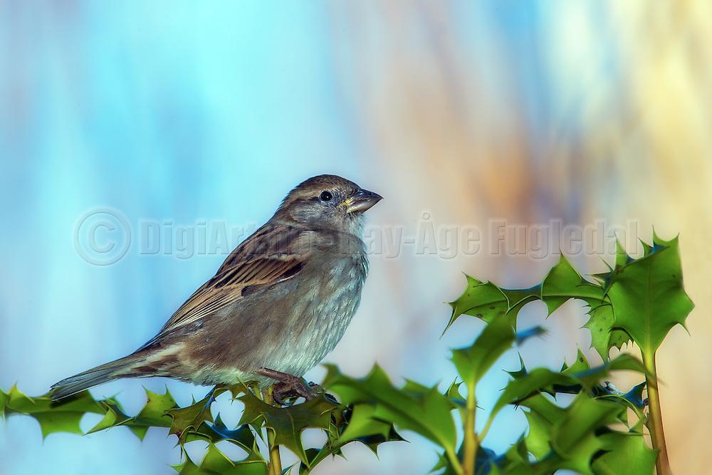 House Sparrow posing on a branch | Gråspurv poserer på en gren.