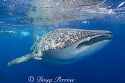 whale shark ( Rhincodon typus ) and snorkeler, Kona Coast of Hawaii Island ( the Big Island ) Hawaiian Islands, USA ( Central Pacific Ocean )