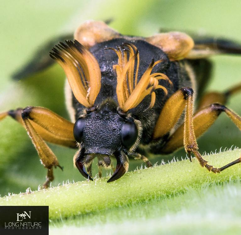 Wedge Beetle- Ripiphorus Sp.