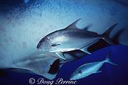 almaco jacks, Seriola rivoliana, accompanying whale shark, Rhincodon typus, Endangered Species, Darwin Island, Galapagos Islands, Equador ( Eastern Pacific Ocean )