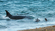 """STUNNING IMAGES CAPTURE ORCAS AS THEY DRIVE UP ON TO BEACH TO HUNT FOR SEA LION'S<br /> <br />  The hunts were taken at Valdés peninsula, Punta Norte. There are some beaches at Valdés, where very few orca whales are adapted to """"voluntary beaching"""" to get close enough to young sea lions, which play in the shallows. This is a dangerous undertaking for the whales, too. If they can't get back to deeper water they might die. Two incidents of a whale being saved by people occurred here. They spilled water over them while they were stuck, not to have them drying out. Next hightide freed them. At any given time there were less than 10 individuals capable of performing this art of hunting! Presently, this number might be a little higher. Voluntary beaching was recorded first in the seventies last century in that area. It is most probably the only area, where whales learned this technique. There are only few scattered records of this behavior from one place in the Indian Ocean, but that is not scientifically confirmed. So this is a very rare behavior in whales and it is a good example of the intelligent way these animals react to their environment.<br /> <br /> PHOTO SHOWS:  Successful attack into a group of three pubs. Two escape, one is taken. One can see a small calve at the side of the attacking female. The young is taken into these assaults to learn as early as possible, how to behave in the shallows and loose the fear of coming close to the beach. However, the mother carefully keeps the young always on the deep side. Successful whales bring the prey into deeper water, where the whole pod shares the spoil.<br /> ©Reinhard Radke Nature Photography/Exclusivpeix Media"""