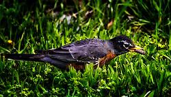 An American Robin snatching a caterpillar out of the grass, Yum!