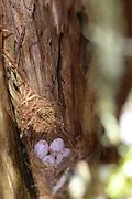 brown creeper nest bird egg
