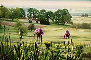 Spring Iris's in bloom at Natalie Estate Winery in Newberg, Oregon.