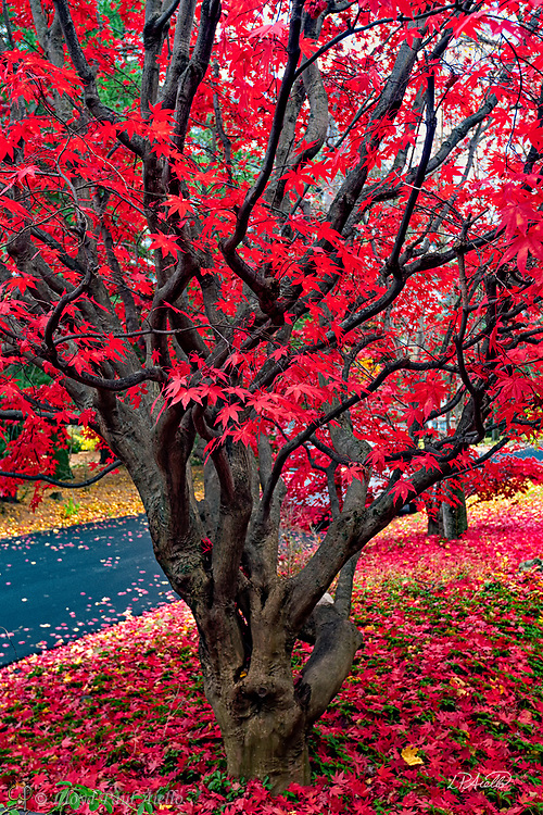 A Japanese Maple (Acer palmatum) dropping its leaves in late autumn in Belmont, Massachusetts.