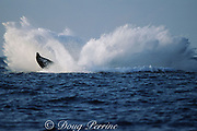 humpback whale, Megaptera novaeangliae, breaching, Hawaii Island, #9 in sequence of 9; caption must include notice that photo was taken under NMFS research permit #587