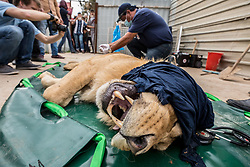 March 30, 2017 - Mosul, Nineveh Province, Iraq - SIMBA lies tranquilized while DR. KHALIL performs an examination on LULA. A lion and a bear, just rescued from Mosul's zoo, are prepared to fly to safety outside Iraq and into Erbil, Kurdistan. The two animals nearly starved to death in their cages while battle raged around them in the Iraqi city earlier this year. Several other animals at the zoo died from neglect but these two were finally rescued by the animal charity Four Paws. (Credit Image: © Gabriel Romero via ZUMA Wire)