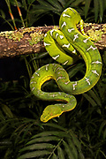 Emerald Tree Boa, Corallus caninus, green snake, constrictor, South America, arboreal, pattern skin, jungle rainforest, arboreal close-ups cold-blooded details lone natural natural-world one only reptilian serpent