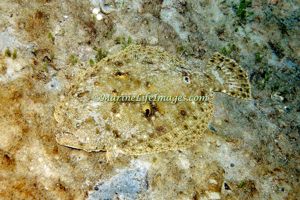 Gulf Flounder inhabit sand, rubble and areas mixed with sea grasses, often near patch reefs in North Carolina to Flordia and Gulf of Mexico to Panama; picture taken  Blue Heron Bridge, Palm Beach, FL.