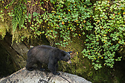 An adult American black bear climbs over rocky outcroppings in the temperate rain forest at Anan Creek in the Tongass National Forest, Alaska. Anan Creek is one of the most prolific salmon runs in Alaska and dozens of black and brown bears gather yearly to feast on the spawning salmon.