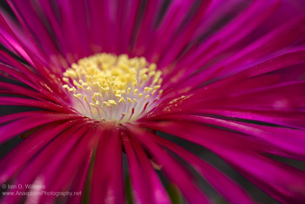 Red Flowering Succulent - Tasmania