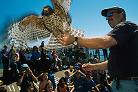 A volunteer released a red-shouldered hawk for a migration study.