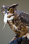 Great Horned Owl, (Bubo virginianus) eating a mouse Photographed in Indiana, USA