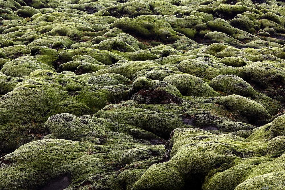 Green moss covers large swathes of Iceland's lava fields. This is found near Kirkjubæjarklaustur in South-East Iceland along the Route 1 that circles the island.
