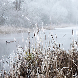 Bullrushes by a frozen lake in Gloucestershire on a frosty winter's day. Typha latifolia