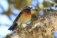 Taiwan Collared bush robin or Johnstone's robin, Tarsiger johnstoniae, Endemic. Hehuanshan, Taroko National Park, Taiwan