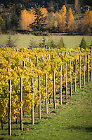Grapes leaves turn bright yellow in early autumn in the Saanich Penninsula of Vancouver Island, BC