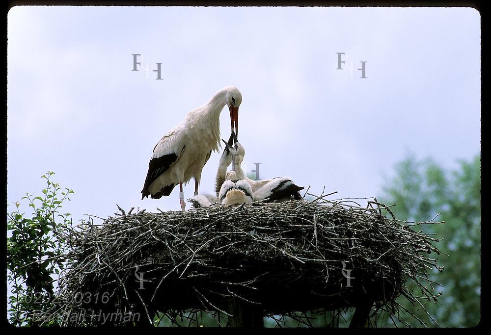 White stork (C. ciconia) regurgitates food for chicks in nest @ Stork Reintrodctn Cntr; Hunawihr France