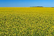 canola field in bloom<br /> Bromhead<br /> Saskatchewan<br /> Canada