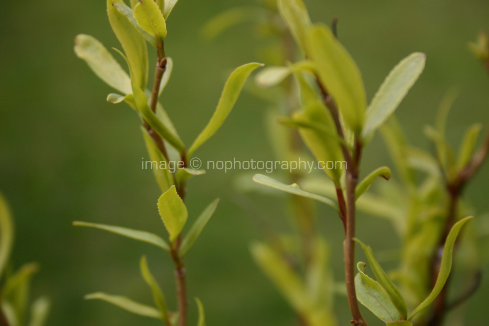New growth on Willow tree