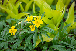 Anemone ranunculoides 'Pleniflora' with yellow leaved hosta in the woodland garden