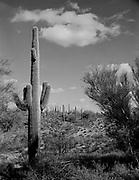 0301-705 Cane cholla (Cylindropuntia imbricata) cactus plant in the Arizona desert.