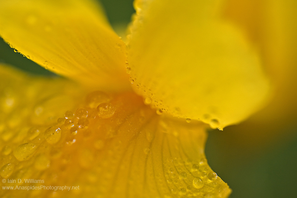 Water Drops on Lily - Tasmania