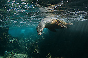 Galapagos Sea Lion (Zalophus wollebaeki) <br /> Bartolome<br /> GALAPAGOS<br /> Ecuador, South America