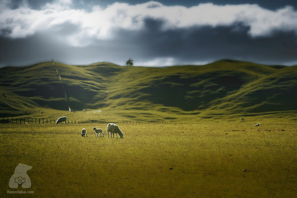 Sheep graze in a South Wairarapa field, near New Zealand's capital city: Wellington. It is said that New Zealand is home to about 40 million sheep. This number represents roughly ten times the human population of the South Pacific country.