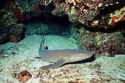nurse shark, Ginglymostoma cirratum, Flower Garden Banks National Marine Sactuary, Flower Gardens, Texas, Gulf of Mexico ( Western Atlantic )
