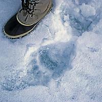 ARCTIC CANADA. Polar bear track beside size 11 boot.