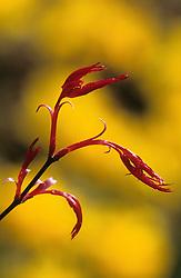 New spring foliage of Acer palmatum 'Deshojo' - Maple