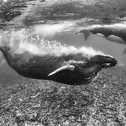 This is the primary or dominant escort in a humpback whale competitive group, also known as a heat run. Male whales are competing for the female whale, which is the one with a long white slash mark on her torso, and a smaller one closer to her face. This behavior of blowing a massive trail of bubbles requires a substantial supply of air. The respiratory and digestive tracts of most animals, including humpback whales, are not connected. It is therefore not clear how humpback whales execute this behavior. After observing this heat run for an extended period of time, I was able to watch the entire sequence from beginning to end three times, and thus to confirm that the dominant whale did not gulp air at the surface. It inflated its throat pouch with air when it was submerged. This suggests that there is a mechanism by which a humpback whale can temporarily connect its respiratory tract to its digestive tract, thus shunting air from its lungs to its throat. This sequence thus provides photographic support for just such an anatomical link, as first proposed in a 2007 paper in The Anatomical Record by Reidenberg and Laitman.