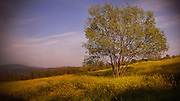 A lone tree in a beautiful field of sunflowers and green grass in Italy.