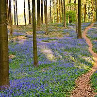 Hallerbos, Belgium's Blue Forest Stock Photos