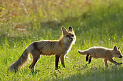 Red fox (Vulpes vulpes)  vixen and pup<br />Whiteshell Provincial Park<br />Manitoba<br />Canada