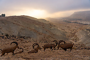 A herd of Nubian Ibex (Capra ibex nubiana AKA Capra nubiana) Photographed in Israel, Negev Desert in September