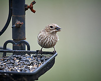 Female House Finch at a bird feeder. Image taken with a Nikon D5 camera and 600 mm f/4 VR lens (ISO 800, 600 mm, f/4, 1/1250 sec)
