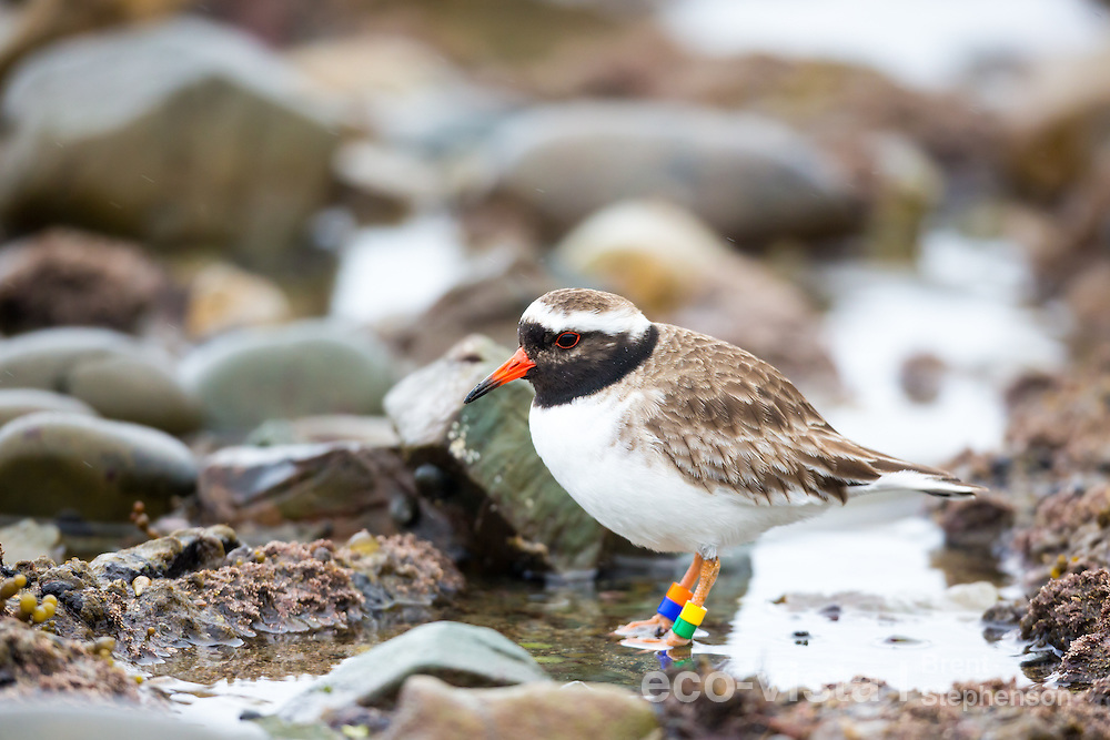 Adult female shore plover (Thinornis novaeseelandiae) feeding amongst rocks on a tidal rock platform. This bird is one that had flown from nearby Mana Island, to the New Zealand mainland. Plimmerton, Weelington, New Zealand. August. Endangered.