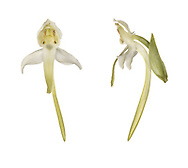 Greater Butterfly-orchid - Platanthera chlorantha